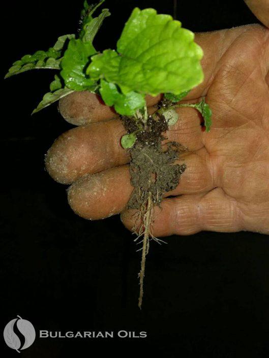 Melissa Officinalis Plant