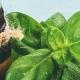 Basil Oil Benefits